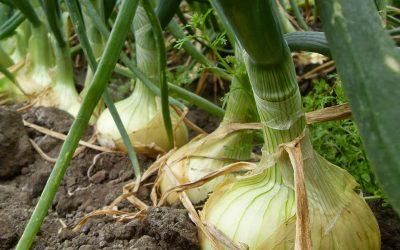 Productores de Cebolla Fresca