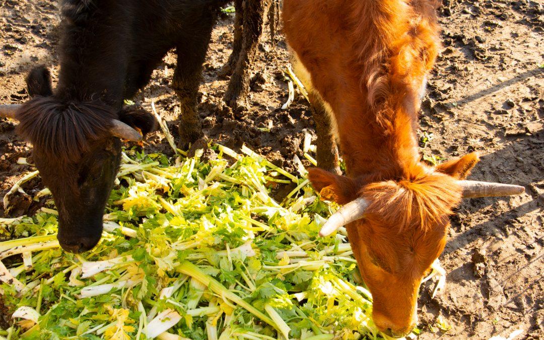 Te presentamos a Margarita, la vaca con la que 'compartirás' tu melón pelado y troceado Frutifresh