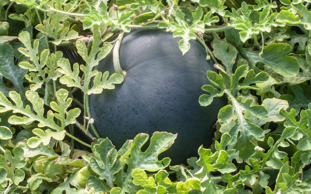 historia-cultivo-sandia-campo-variedades-vicente-peris