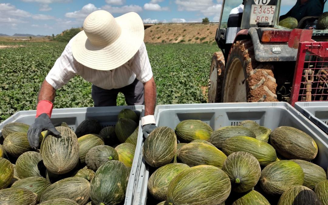 cultivo-venta-compra-melon-piel-sapo-peris-murcia-mejor-calidad